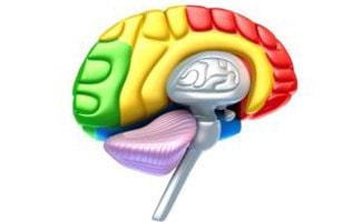 Colorful brain lobes