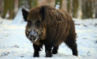Hogzilla in snow